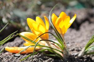 Желтые крокусы в Ботаническом саду